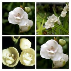 "Flor Nacional de Panama, ""Paloma Alada"" nombre Cientifico, Peristeria Elata."