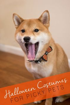 Cute & Silly Halloween Costumes for Picky Dogs & Cats (Like my Shiba Inu, Rigby!)