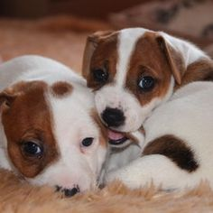 Jack Russell Terrier Dogs- So cute. I always wanted one...now I kinda have one.