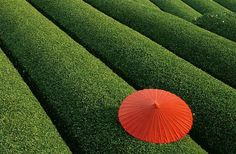 China is one of the major producers of tea in the world. The coastal areas of China have Fields of Tea. Places Around The World, Around The Worlds, Beautiful World, Beautiful Places, Amazing Places, Red Umbrella, Photoshop, In China, Hangzhou