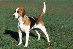 English Foxhound Breed Information