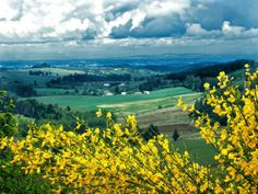 Scotch broom and a valley view near Stayton Oregon