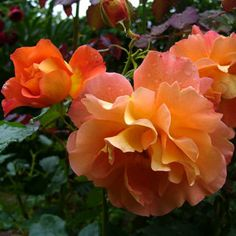 ~'Westerland' climbing or shrub rose. Disease-resistant, spicy clove scent. Zones 5 - 9.