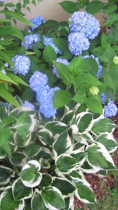 Hydrangea & hosta - this reminds me to move my hosta in front of my hydrangea in the spring