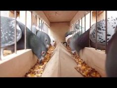 Postagalambok etetése (Racing pigeons eating) - YouTube