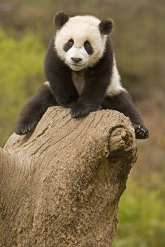 Baby Panda on top of tree stump