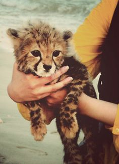 I want this little guy so bad. baby cheetah..Now THTA'S a super cute baby cheetah.the cutest baby of all cats