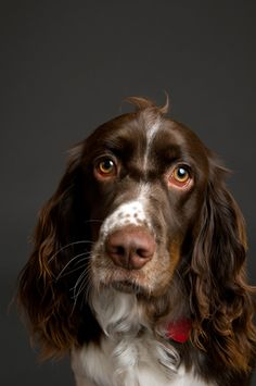 Do you know or own an English Springer Spaniel? Tell us your best Springer story! Learn more about this great breed on the BBS Breed Spotlight on the English Springer Spaniel! Beautiful Dogs, Animals Beautiful, Chien Springer, I Love Dogs, Cute Dogs, Dog Nose, English Springer Spaniel, Spaniel Dog, Dogs Of The World