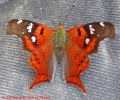 Peru Brushfoots (Nymphalidae)