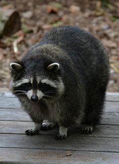 Raccoon   Flickr - Photo Sharing!