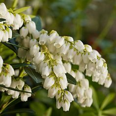 Southern Living Plant Collection - Southern Living Plant Collection - Southern Living