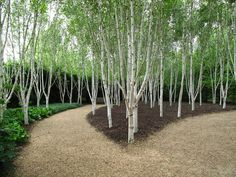 Birch trees can be excellent additions to a garden. The birch trees are the national trees of Finland and Russia, and are known for its enchanting beauty and grace. Landscape Elements, Landscape Architecture, Landscape Design, Garden Design, Back Gardens, Outdoor Gardens, Amazing Gardens, Beautiful Gardens, White Birch Trees