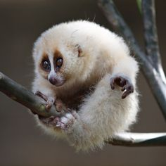 """""""Javan Slow Loris""""   [Like other lorises, the Javan slow loris is nocturnal and arboreal, relying on vines and lianas. The Javan slow loris will eat fruit, lizards, eggs, and chocolate seeds. They are seen alone or in pairs and are sometimes found sleeping in groups. Instead of sleeping in nest holes, they sleep curled up on branches.]~[Photographer Irawan Subingar - March 20 2012]'h4d'120925"""