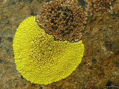 Pleopsidium flavum (Bellardi). lichen. California, Grapevine, Frazier Mountain