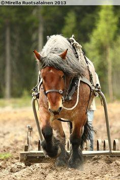 Swedish Ardennes Draft Horse                                                                                                                                                     Más