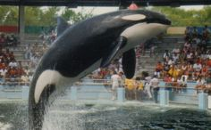 Miami Beach Mayor Takes a Stand to Free Lolita the Loneliest Orca