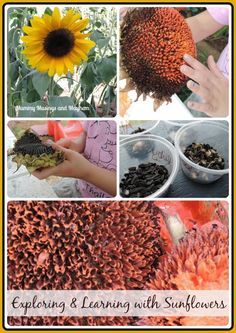 Learning Sensory Activities with sunflowers for children- from growing to painting! See more at Mummy Musings and Mayhem Nature Activities, Montessori Activities, Spring Activities, Science Activities, Activities For Kids, Family Day Care, Outdoor Learning, Outdoor Education, Outdoor Classroom