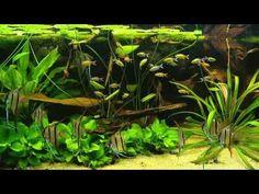 161 Best Amazon Fish Tank Images In 2019 Fish Tanks Aquarium