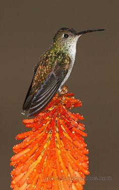 White-bellied Hummingbird, Amazilia chionogaster. Peru, Adam Riley