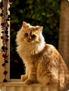 Ginger is beautiful - Viral Kittens Pretty Cats, Beautiful Cats, Pretty Kitty, Benadryl For Cats, Toxic Plants For Cats, Cat In Heat, British Shorthair Kittens, Cat Nose, Herding Cats