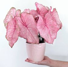 Variegated houseplants are cute and all, but sometimes it's not easy being green. Pink-leaved houseplants are the new cool kids on the block. Planting Succulents, Planting Flowers, Growing Flowers, Plantas Indoor, Decoration Plante, Plant Aesthetic, Pink Plant, House Plants Decor, Pink Leaves
