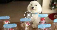 Cão Tem Comportamento Hilariante Ao Ver Conjunto De Bonecos Em Cima Da Mesa http://www.funco.biz/cao-comportamento-hilariante-ao-ver-conjunto-bonecos-cima-da-mesa/