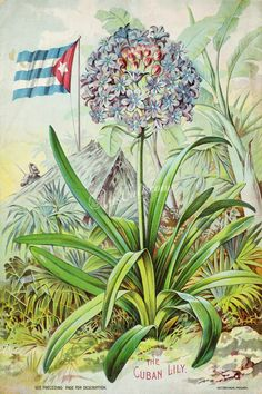 080-Mountain, Cuban Lily, Flag      ...