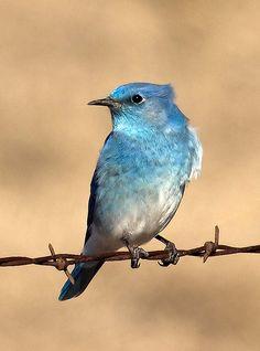 Mountain Bluebird (Sialia curruciodes)