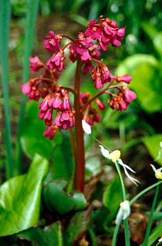 Bergenia cordifolia 'Purpurea' - front of house, at front of bed