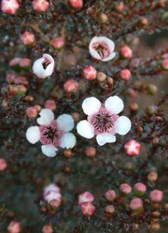 Leptospermum vscoparium 'White' Familia:Myrtaceae Origen:S.E. Australia/N.Zelanda Compacta Perenne Época/Floración:IV/VI Color floración:Leptospermum vscoparium 'White' Altura (cm): 150/200 Anchura (cm): 150/200 Temperatura: -8ºC Zona 8 A pleno sol Muy resistente a la sequedad