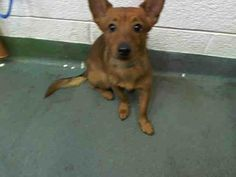 URGENT PUPPY at Miami KILL Shelter - RYAN (A1588379) I am a male brown Terrier mix. The shelter staff think I am about 6 months old. I was found as a stray and I may be available for adoption on 01/23/2014 — hier: Miami Dade County Animal Services. https://www.facebook.com/photo.php?fbid=704982499536156&set=a.470960256271716.114441.191859757515102&type=3&theater