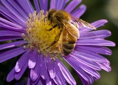 Create a Honeybee Haven with Native Plants and Flowering Herbs