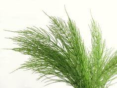 HORSETAIL HERB FOR HAIR GROWTH