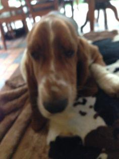 Love our basset hound Basset Hound, Dogs, Animals, Doggies, Animales, Animaux, Animal, Pet Dogs, Animais