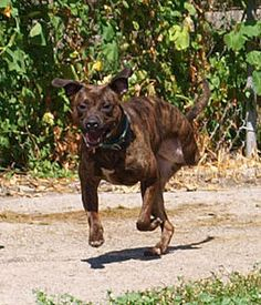 Portia! 6 year old female Pit Bull mix. Loveable tripod! Available for adoption from Mid Michigan Boxer Rescue in West Bloomfield, MI