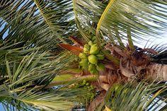 coconut vinegar-health benefits!