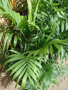 Chamaedorea elegans, Camedórea, Palmeira-de-salão, Pacaia, Palmeira-bambu