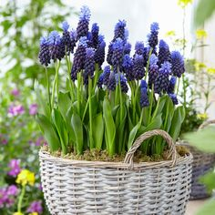 Van Zyverden Grape Hyacinths Multi Colored Latifolum Bulbs - Set of 25 Daffodil Bulbs, Bulb Flowers, Small Flowers, Beautiful Flowers, Yellow Flowers, Spring Flowering Bulbs, Spring Bulbs, Fall Plants, Foliage Plants