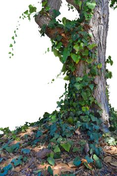 Tree with Ivy Stock Photo_ 0014 - PNG by annamae22 on DeviantArt
