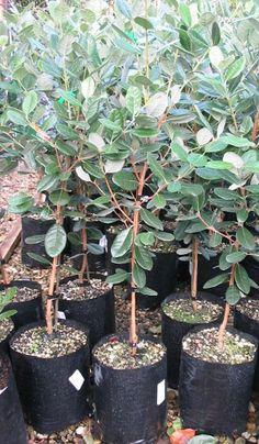 Growing Feijoa Trees