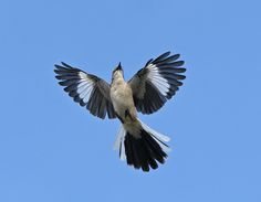 Our Northern Mockingbird, who can mimic an entire army of birds. I miss these birds desperately when I leave Oklahoma and their terrain.