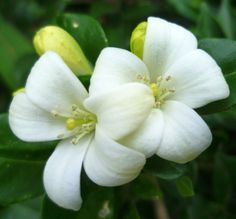 fragrant flowering trees and bush   Wonderful Plants Murraya paniculata , Orange Jasmine , White Fragrant ...
