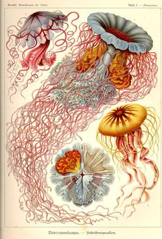 If you're like me, you've always wanted Ernst Haeckel in your house. Well, not literally Ernst Haeckel, the great century biologist (although that would be cool, in alive form). Art And Illustration, Octopus Illustration, Nature Illustrations, Antique Illustration, Ernst Haeckel Art, Natural Form Art, Jellyfish Art, Jellyfish Drawing, Colorful Jellyfish