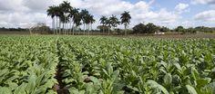 campos de tabaco (Cuba)