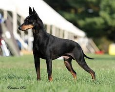 Manchester Terrier, CH Saint Lazar's Ring Of Fire Small Dog Breeds, Small Breed, Terrier Dogs, Terriers, English Toy Terrier, Manchester Terrier, Dog Jewelry, Dog Show, Westies