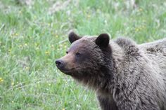 Momma grizzlies