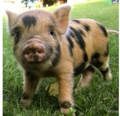 Mini Pot Belly Rescue Piggy! ♥