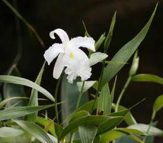 Sobralia Culture | ... ; Sobralia macrantha var alba; Sobralia macrantha var purpurea