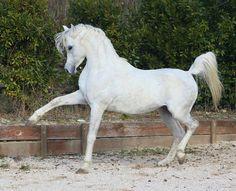 IBN EL NIL RHM (Monastir x NileAllure) grey SE stallion 1999-2010 - Strain: Dahman Shawan, Sabah
