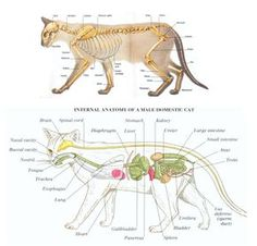 Cat Care 101 Anatomy of a cat - Tube feeding kittens is something every cat breeder will need to do at some point. This article will help breeders experiencing this for the first time. Siamese Cat Breeders, Siamese Cats, Feeding Kittens, Cat Skeleton, Cat Brain, Cat Fountain, Shiatsu, Cat Anatomy, Vet Assistant